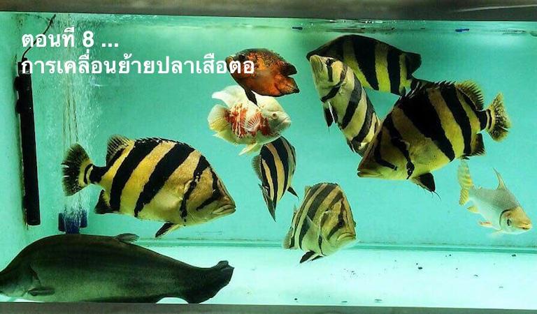 การเคลื่อนย้ายปลาเสือตอ