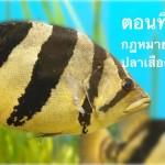 ปลาเสือตอ ตอนที่ 10 … กฏหมายเกี่ยวกับปลาเสือตอ