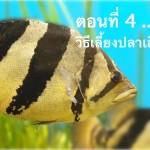 ปลาเสือตอ ตอนที่ 04 … วิธีเลี้ยงปลาเสือตอ
