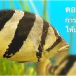 ปลาเสือตอ ตอนที่ 05 … การเสริมวิตามินให้ปลาเสือตอ