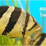 ปลาเสือตอ ตอนที่ 07 … โรคในปลาเสือตอ