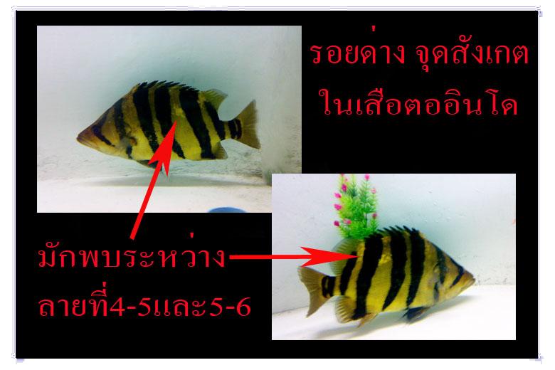รอยด่างในปลาเสือตออินโดลายคู่