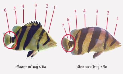 เสือตอลายใหญ่ 6 ขีดและ 7 ขีด