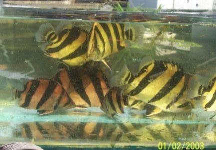 ปลาเสือตอ