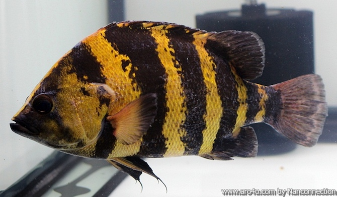 ปลาเสือตอ ปาปัวนิวกินี