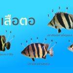 วิธีดูปลาเสือตอ (เบื้องต้น)