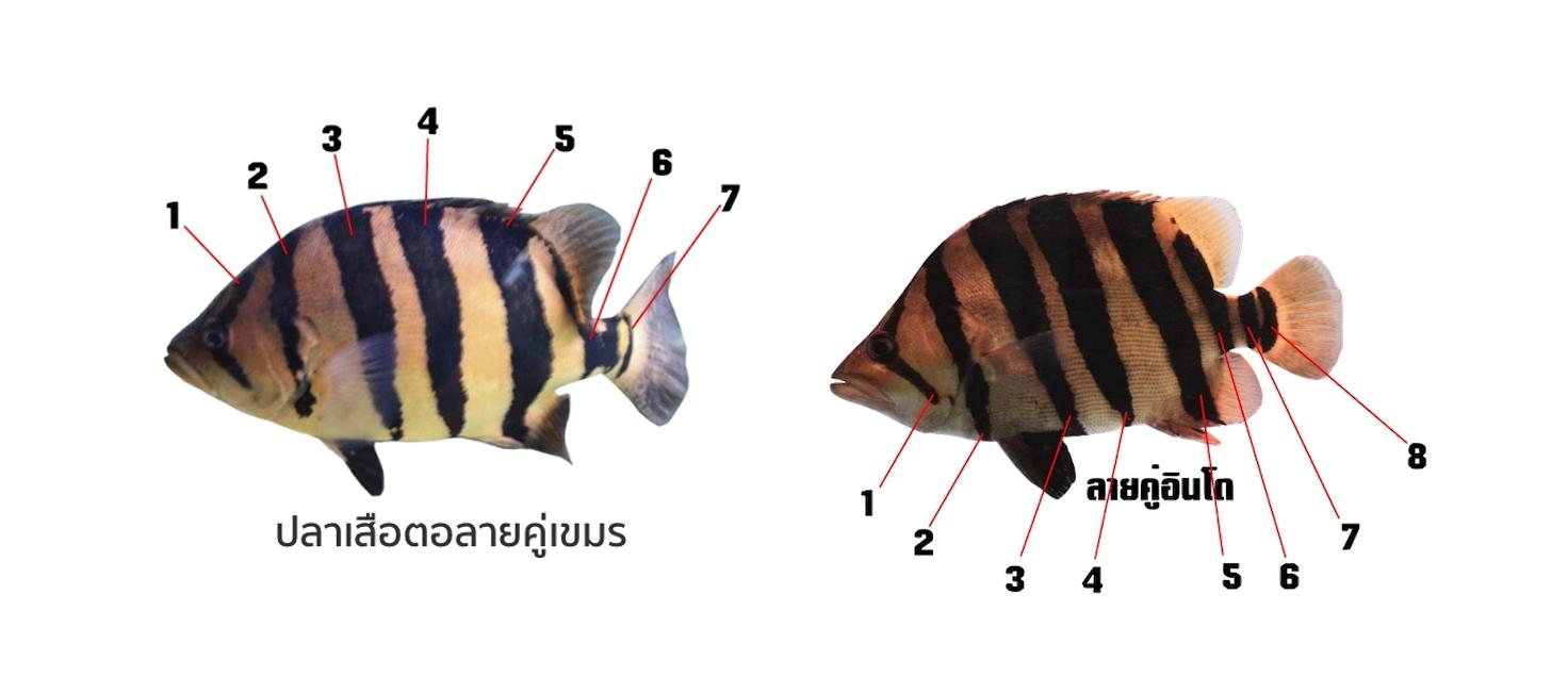 เปรียบเทียบปลาเสือตอลายคู่เขมรและอินโด