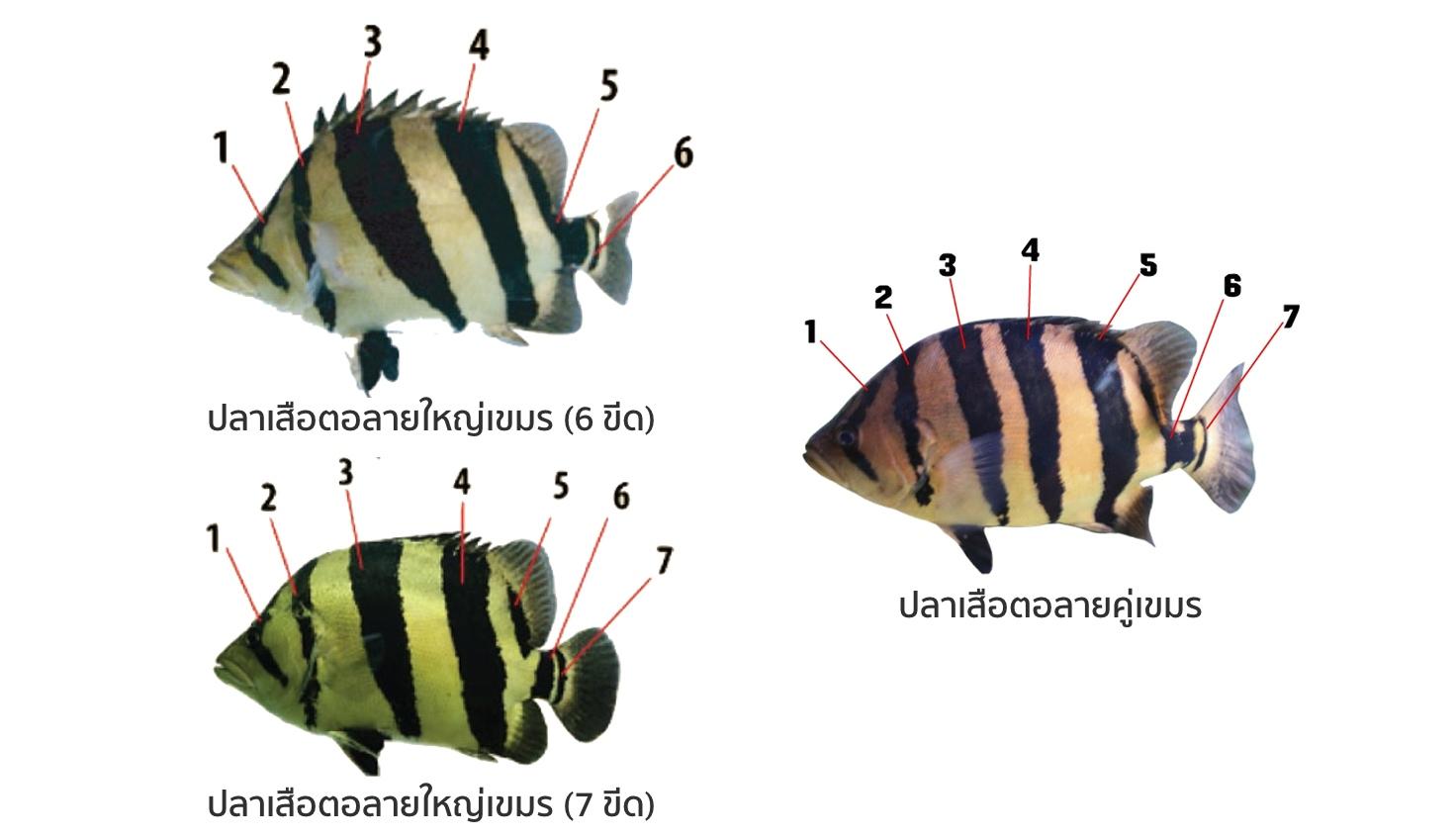 เปรียบเทียบปลาเสือตอลายใหญ่และลายคู่