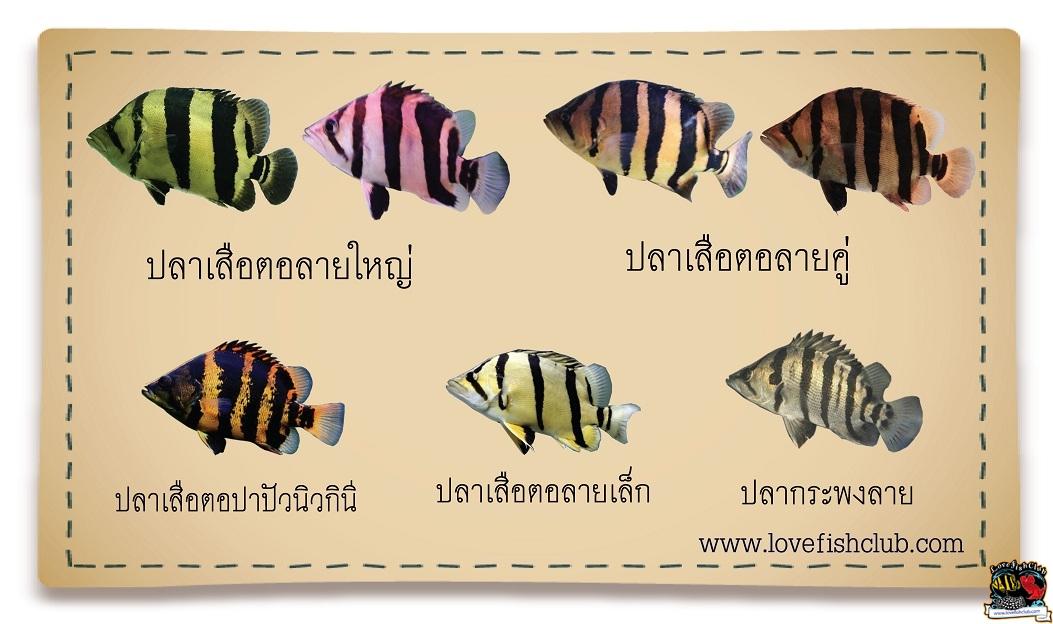 วิธีดูปลาเสือตอ