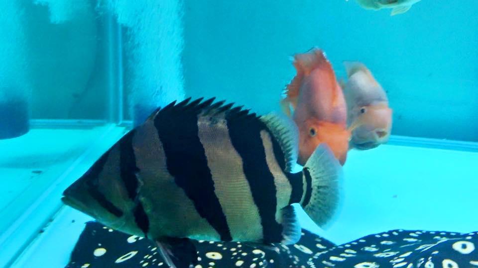 ปลาเสือตอเวียดนาม