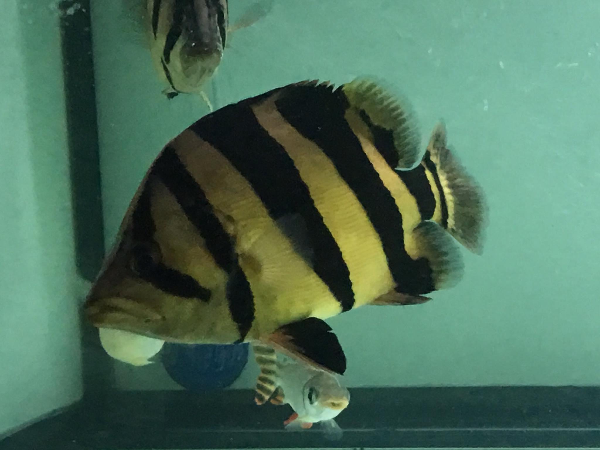 ขุนเสือตอให้อ้วน