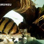 ปลาเสือตอหอบ โรคที่เป็นแล้วมักจะไม่รอด